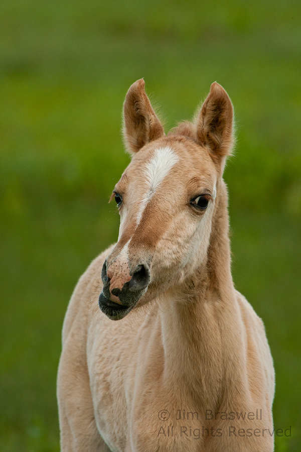 Gila foal whinnies as it approaches me