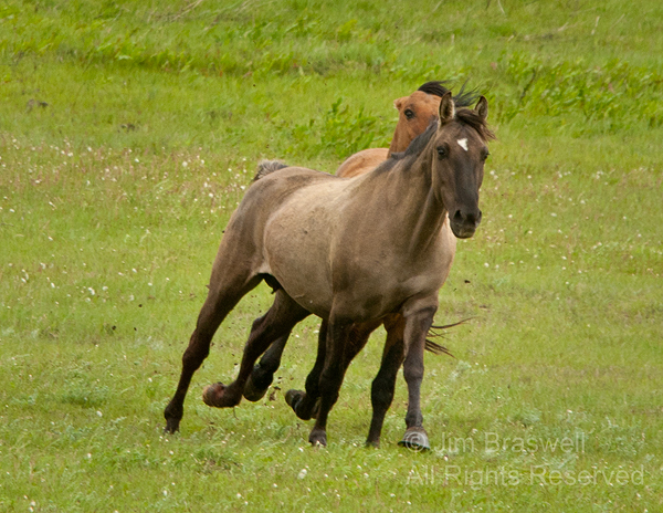 Gila mare chased by Gila herd stallion