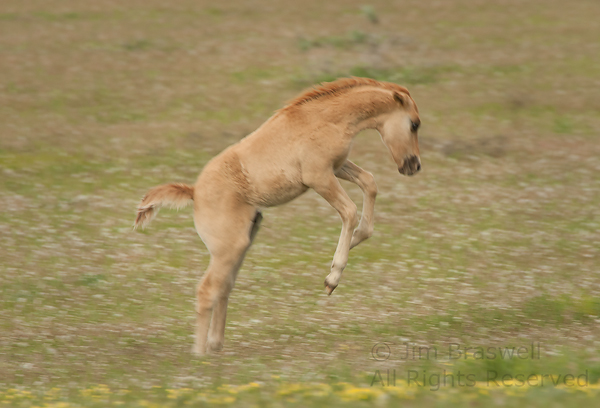 Wild foal jumps for joy