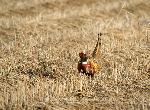 Ring-necked Pheasant forages in a cornfield