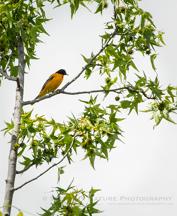 Baltimore Oriole male