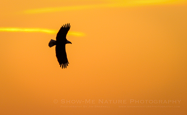 Bald Eagle silhouetted against the sunrise colors on the Mississippi