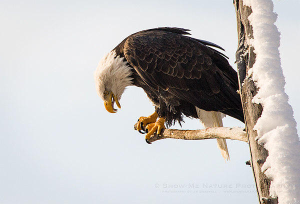 Bald Eagle perched on short limb