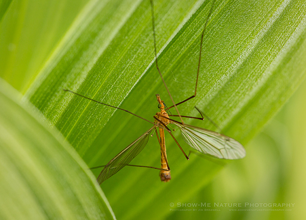 Crane Fly on Corn Lily wildflower