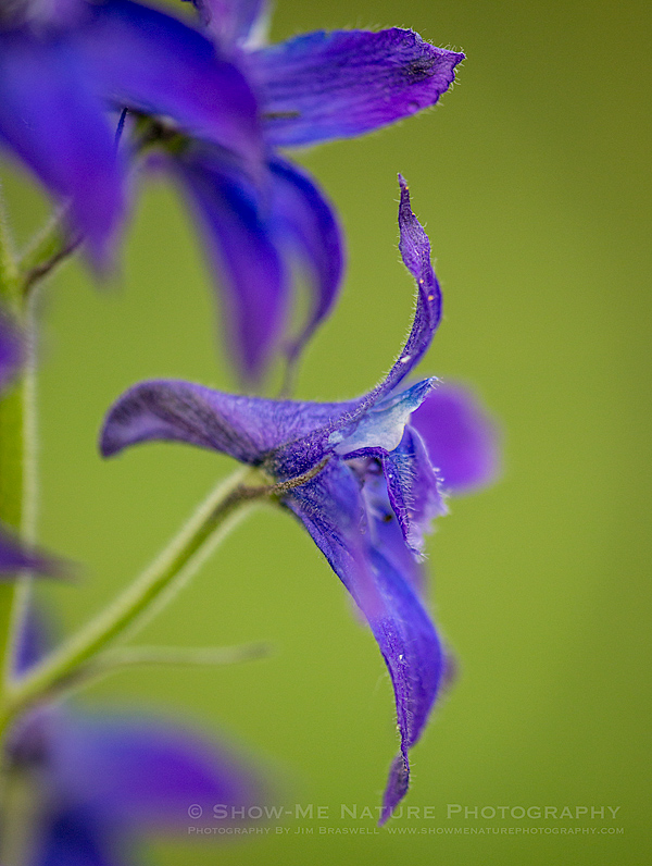 Larkspur wildflower