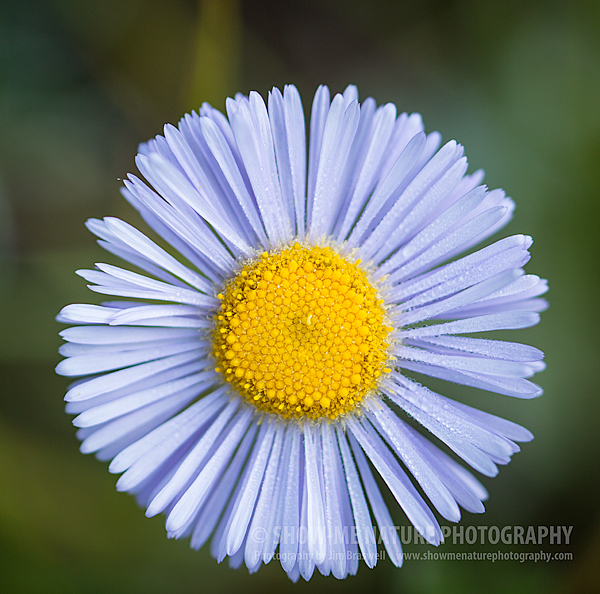 Showy Daisy wildflower
