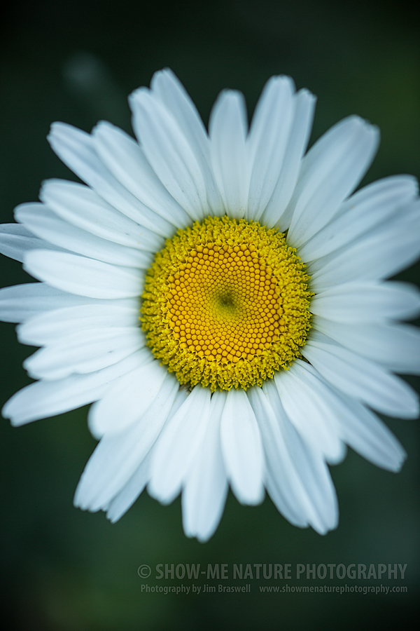 Daisy wildflower