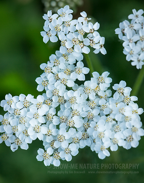 Yarrow wildflower