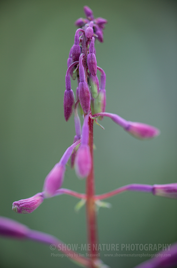 Fireweed wildflower buds