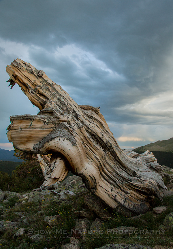 An ancient Bristlecone Pine