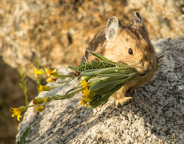 American Pika with wildflowers