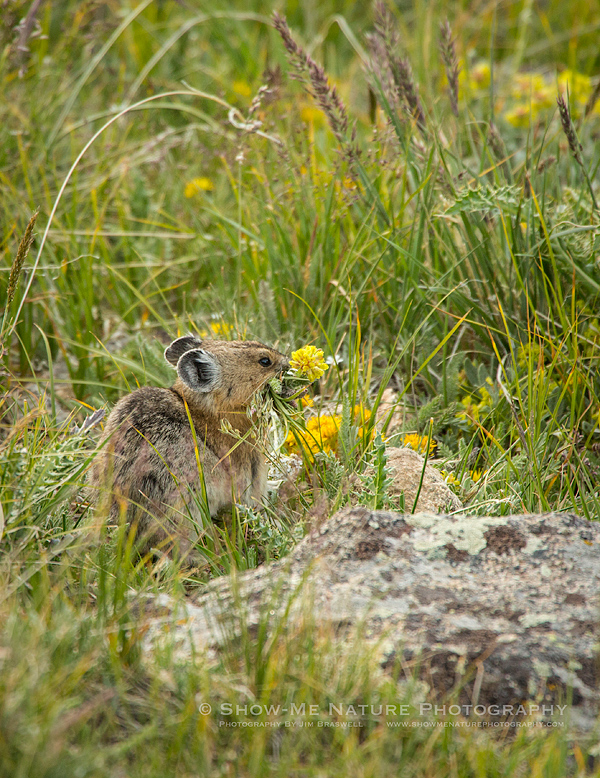 American Pika collecting wildflowers and grasses