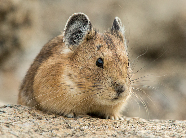 American Pika on a rock