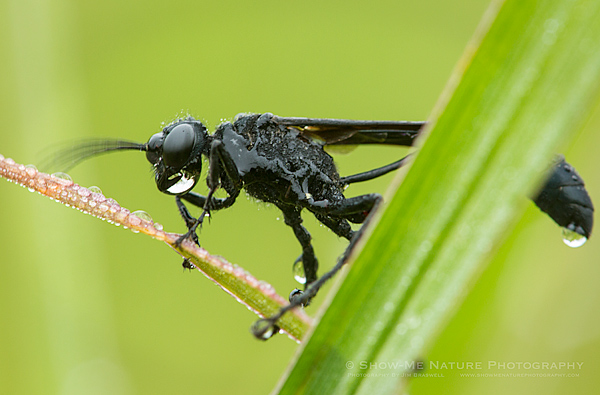 Dew-covered Thread-waisted Wasp