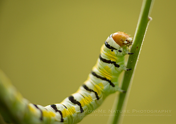Clouded Crimson Moth caterpillar, feeding on Gaura wildflowers