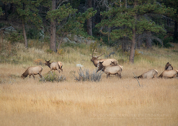 A bull elk with his harem