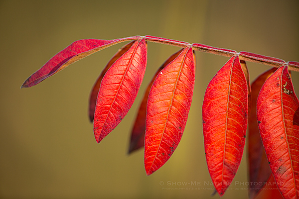 Sumac leaves in fall color
