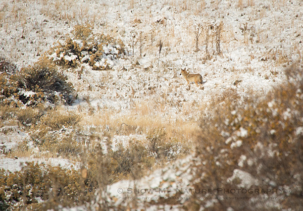 Coyote foraging in the snow