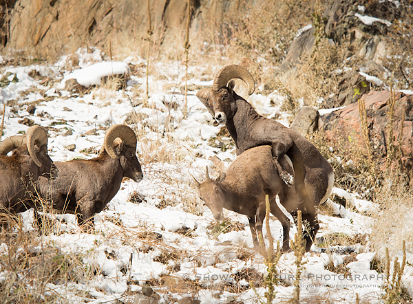 Bighorn Sheep ram attempts to mate with a ewe