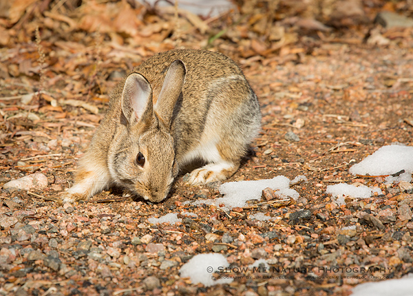 Cottontail foraging in the snow and leaf litter