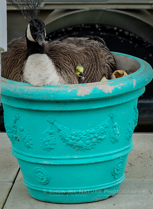 Canada Goose nest with gosling