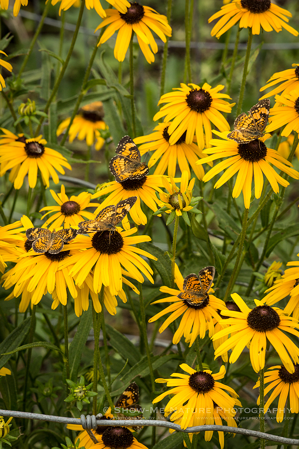 Pearl Crescent Butterflies on Black-eyed Susans