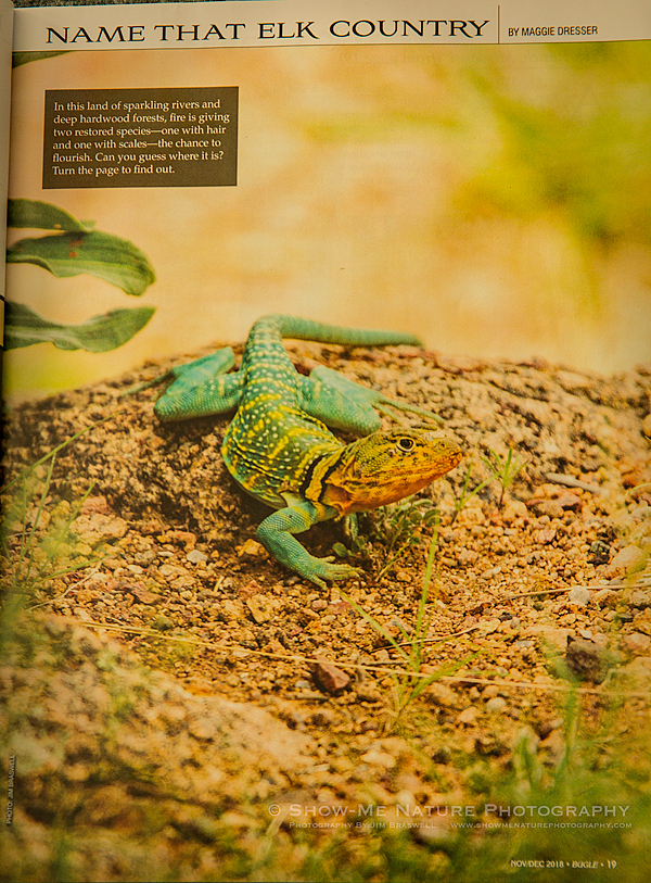 Male Eastern-collared Lizard