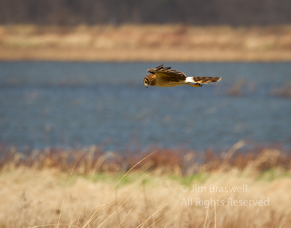 Northern Harrier hunting over the marsh