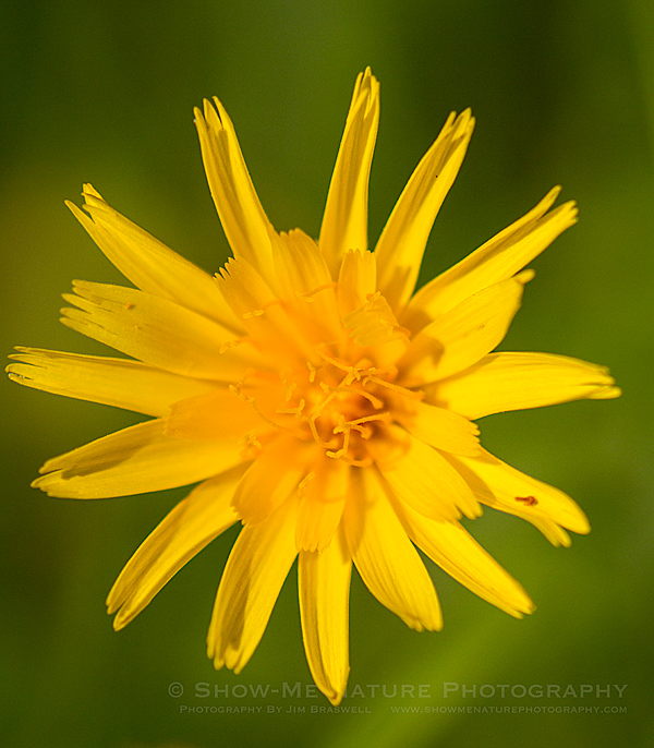 False Dandelion wildflower