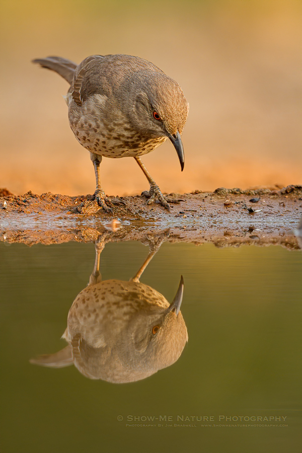 Curve-billed Thrasher with Reflection