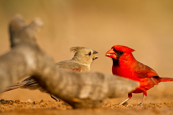 Male Northern Cardinal feeding young Cardinal