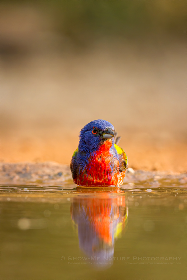 Painted Bunting Male bathing