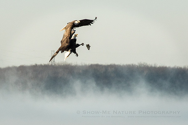 Bald Eagles fighting over a fish