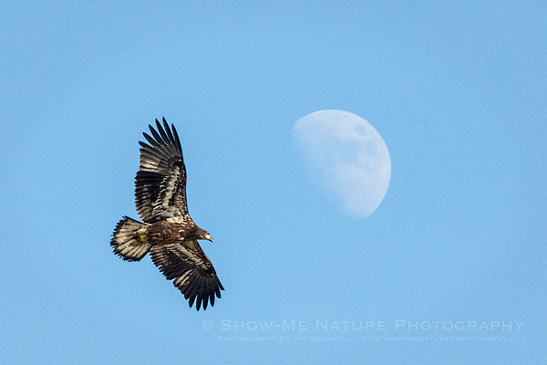 Immature Bald Eagle soaring over the river