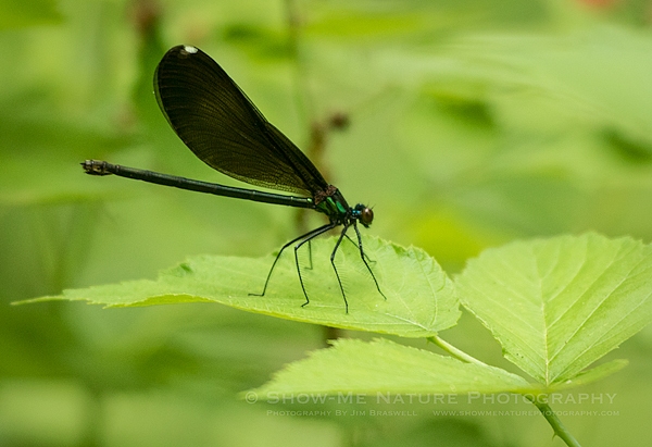Ebony Jewell-Winged Damselfly, female