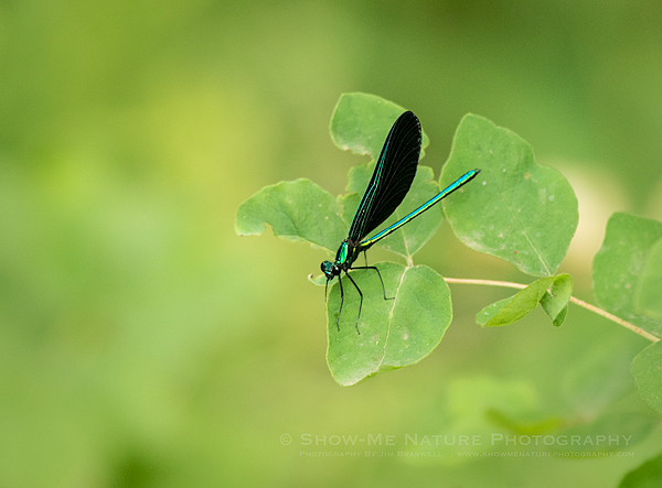 Ebony Jewell-Winged Damselfly, male