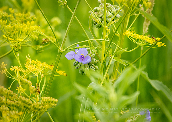 Spiderwort wildflowers