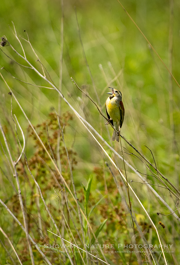 Dickcissel singing on the prairie