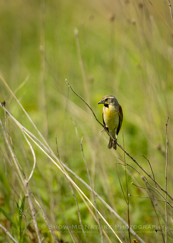 Dickcissel perched on a prairie plant