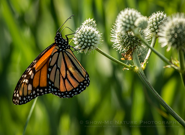 Monarch butterfly on Rattlesnake Master wildflower
