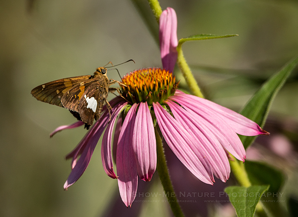 Silver-spotted Skipper on a Purple Coneflower wildflower