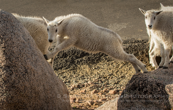 Young Mountain Goat kid