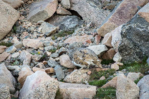 Ptarmigan foraging among the rocks