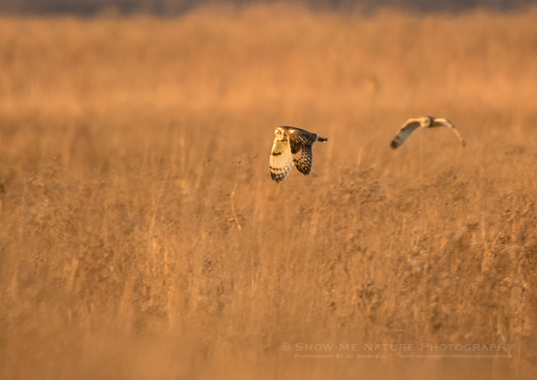 Short-eared Owls hunting over the grassland