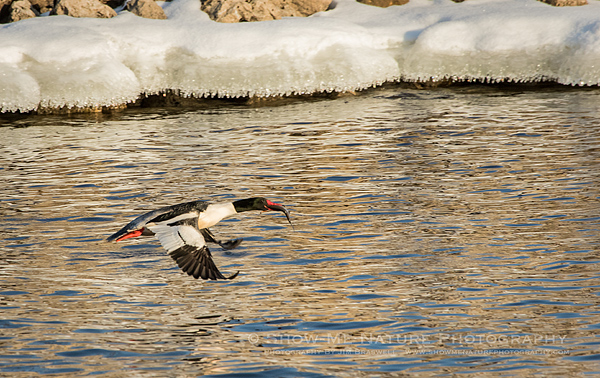 Adult male Common Merganser with fish