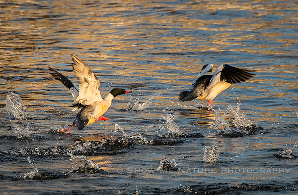 Adult male Common Mergansers
