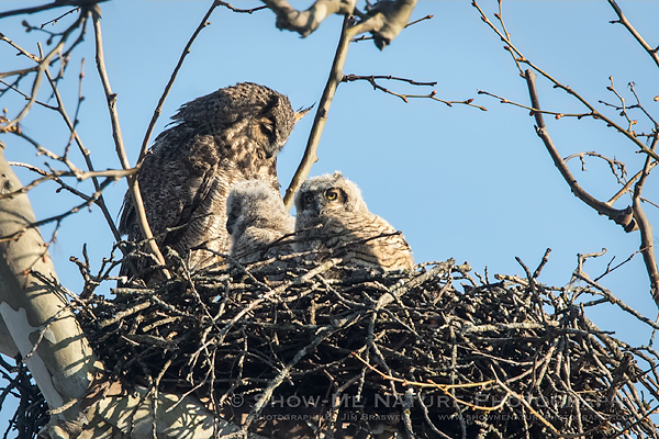 Nesting Great Horned Owls