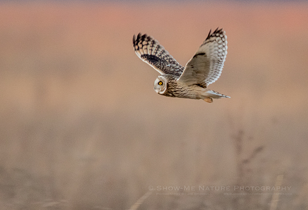 Short-eared Owl hunting over the grassland