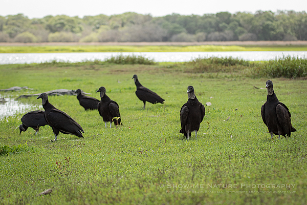 Black Vultures gather at the edge of Deep Hole