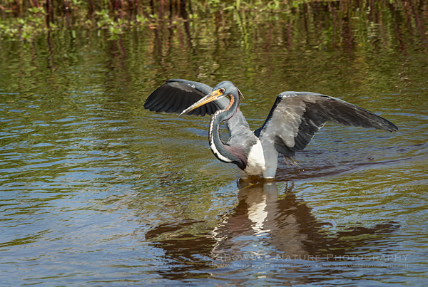"Tricolored Heron ""Canopy Fishing"""